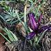 Iris reticulata 'Pauline' (2)