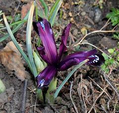 Iris reticulata 'Pauline' (3)