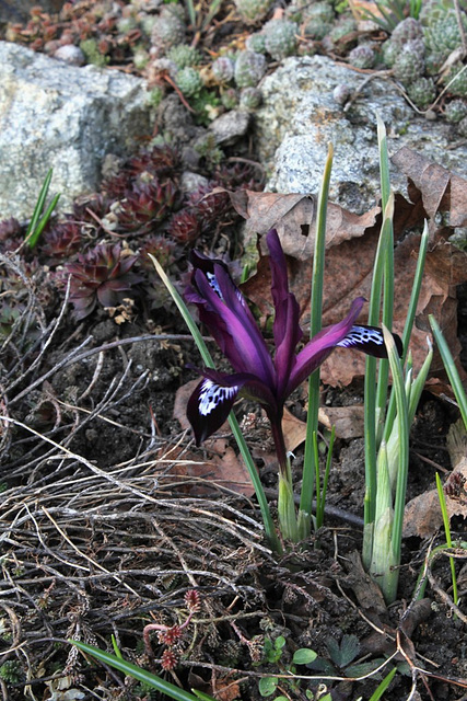 Iris reticulata 'Pauline' (4)