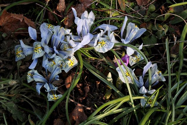 Iris x histrioïdes KH (2)