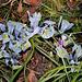 Iris x histrioïdes KH (3)