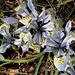 Iris x histrioïdes KH (4)