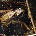 Froschliebe