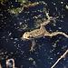Frosch auf der Suche nach einem Weibchen
