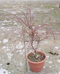 Acer palmatum beni komachi P2254219
