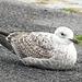 Immature Gull - 5 November 2013