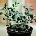 Murayas- plants de 1 ans