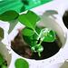 Murayas- plantule 2 mois