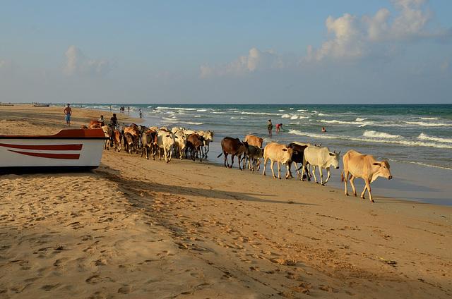 Beach cows 2