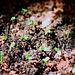 Pitayas- Hylocereus undatus - sept 2009