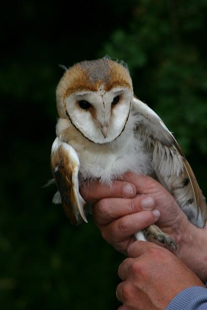Baguage d'effraie des clochers (Tyto alba)