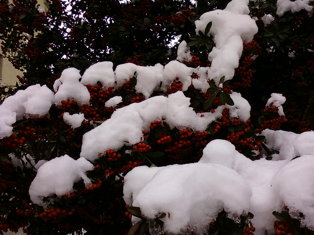 snow and cornelian cherry