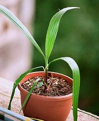 Washingtonia robusta- 8 mois