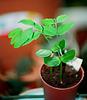 Cassia - plantules de 1 mois