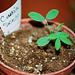 Cassia senna- Plantule de 1 mois