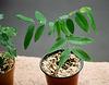cassia sp- Plant de 4 mois