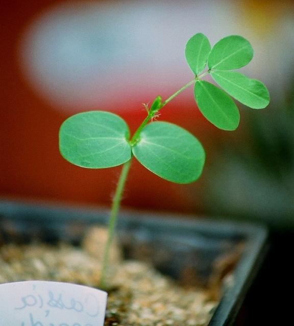 Cassia sp- plantule de 1 mois