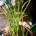 Kniphofias- plants de 4 mois