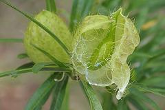 Frucht innen (Baumwoll-Seidenpflanze)