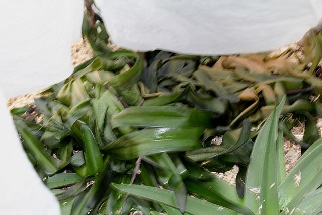 Amaryllis belladona
