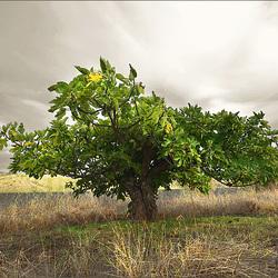 Temporal na Foz do Odeleite, Figueira, Ficus