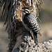 Woodpecker In A Joshua Tree (2491)