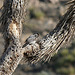 Woodpecker In A Joshua Tree (2493)