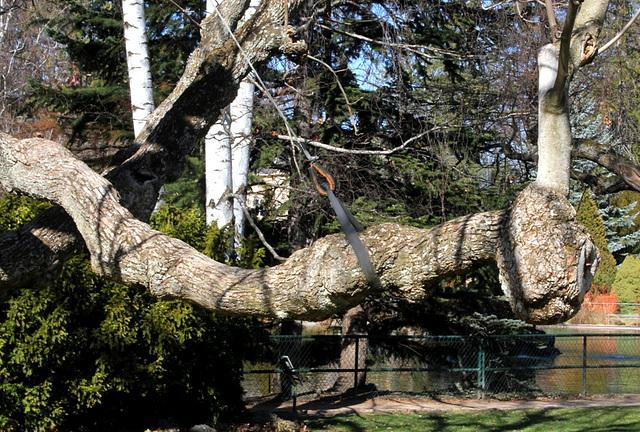 Magnolia acuminata accia(5)