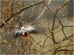le vol en rouge et noir, de l'homme-bouvreuil