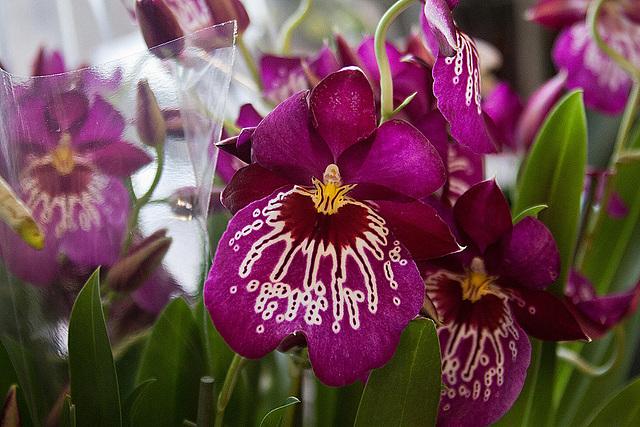 20120301 7415RAw Orchidee