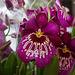 20120301 7415RAw [D~LIP] Orchidee, Bad Salzuflen: Orchideenschau