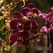 20120301 7411RAw [D~LIP] Orchidee, Bad Salzuflen: Orchideenschau