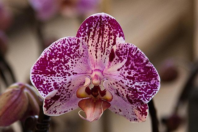 20120301 7408RAw Orchidee