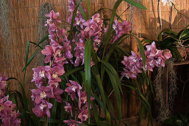 20120301 7406RAw Orchidee