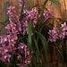 20120301 7406RAw [D~LIP] Orchidee, Bad Salzuflen: Orchideenschau