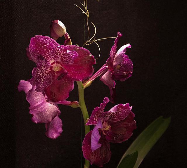 20120301 7403RAfw Orchidee