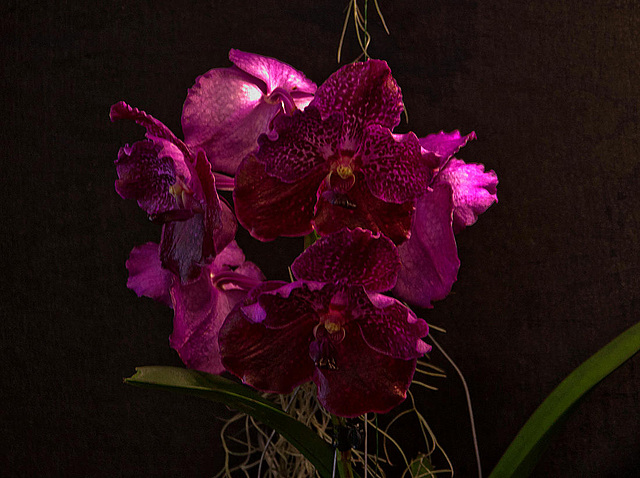 20120301 7402RAfw Orchidee