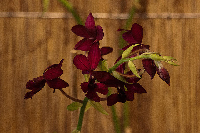 20120301 7401RAw Orchidee