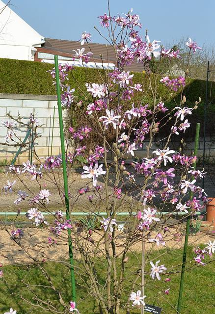 Ipernity Magnolia Loebneri Leonard Messel Dsc 0087 By