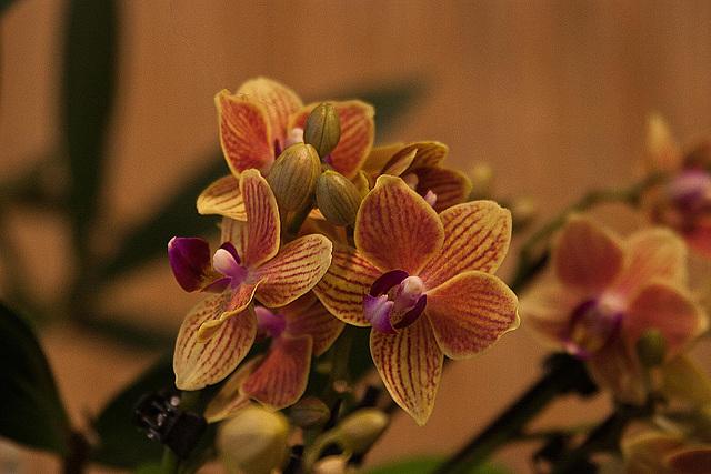 20120301 7400RAw Orchidee