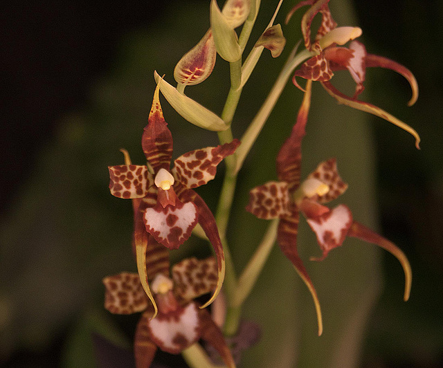 20120301 7395RAw Orchidee