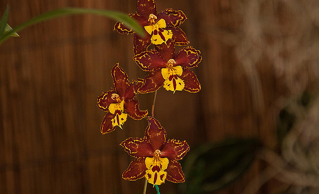 20120301 7390RAw Orchidee