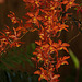 20120301 7389RAw [D~LIP] Orchidee, Bad Salzuflen: Orchideenschau