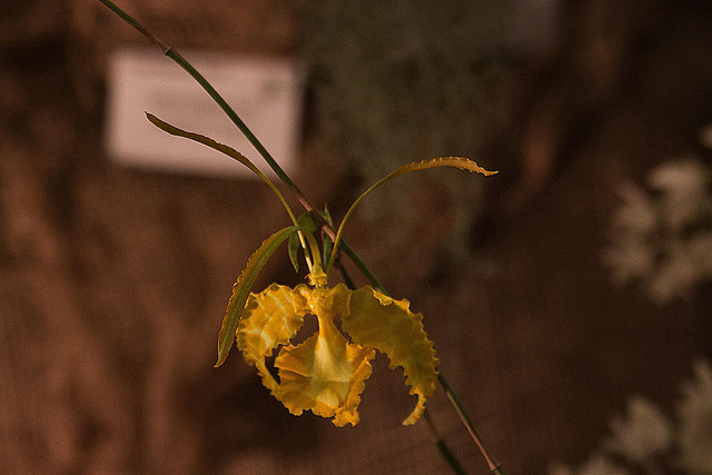 20120301 7387RAw Orchidee
