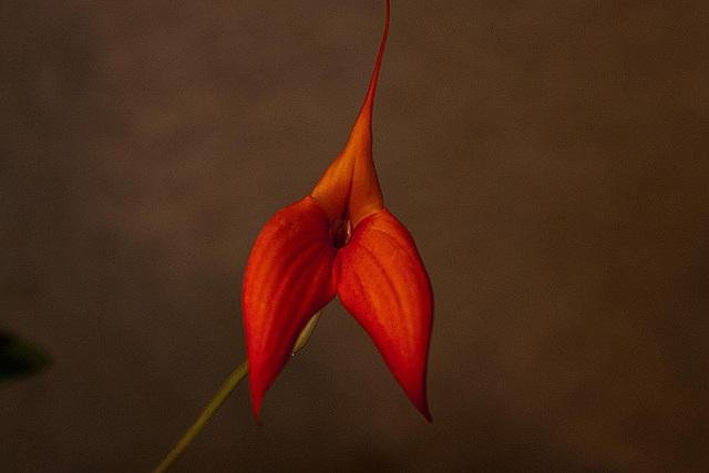 20120301 7385RAw Orchidee
