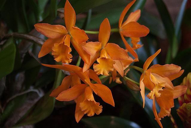 20120301 7380RAw Orchidee