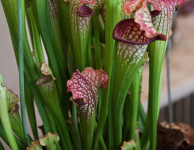 20120301 7375RAw Kannenpflanze (Fleischfresser)