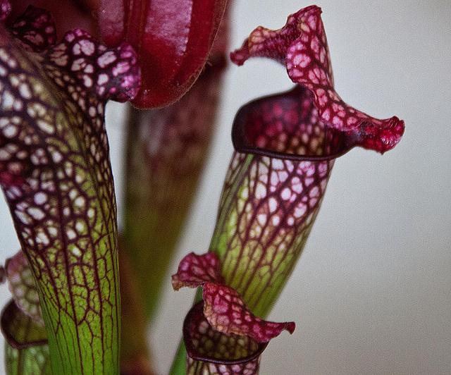 20120301 7374RAw Kannenpflanze (Fleischfresser)