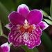 20120301 7369RAw Orchidee