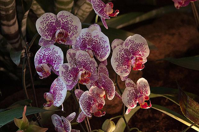 20120301 7366RAw Orchidee